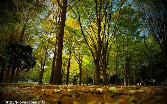 Yoyogi Park Autumn Leaves(shibuya-ku,Tokyo)
