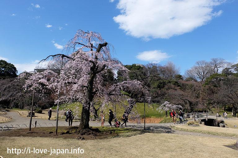 koishikawa korakuen garden cherry blossom(Bunkyo-ku, Tokyo)