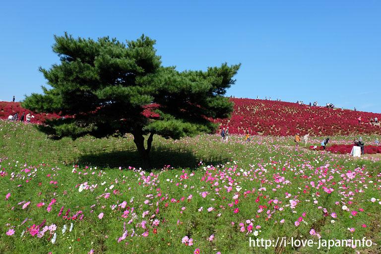 Hitachi Seaside Park Kochia (autumn red tint) ,Ibaraki