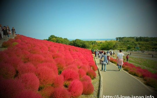 Hitachi Seaside Park Kochia (autumn red tint) ,Ibaraki