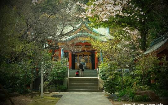 Shiba Park Cherry Blossom(Minato-ku,Tokyo)