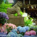 Hydrangea(Ajisai-flower) at Hakusan Shrine(Bunkyo-ku,Tokyo)