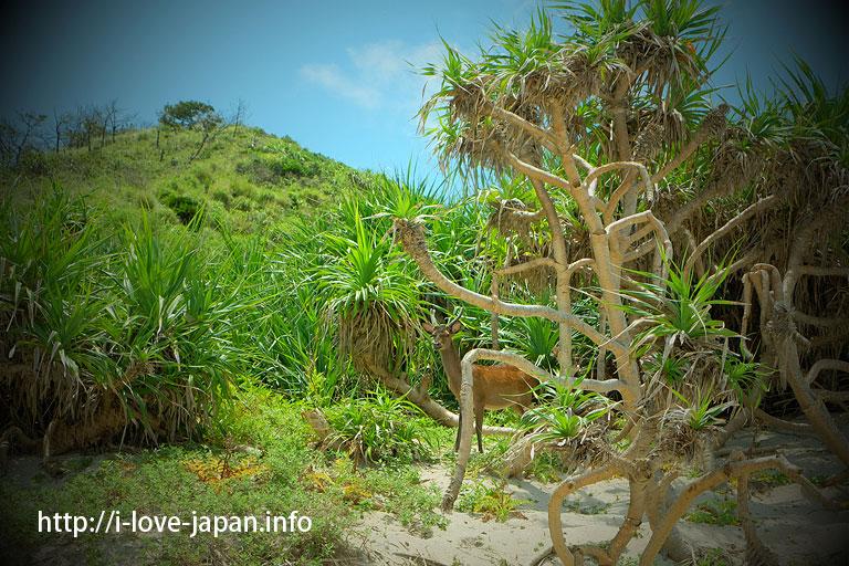 >Kerama deer(wild Ryukyu Sika deer (Cervus nippon keramae))