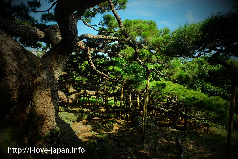 Pine with five branches@Kume island