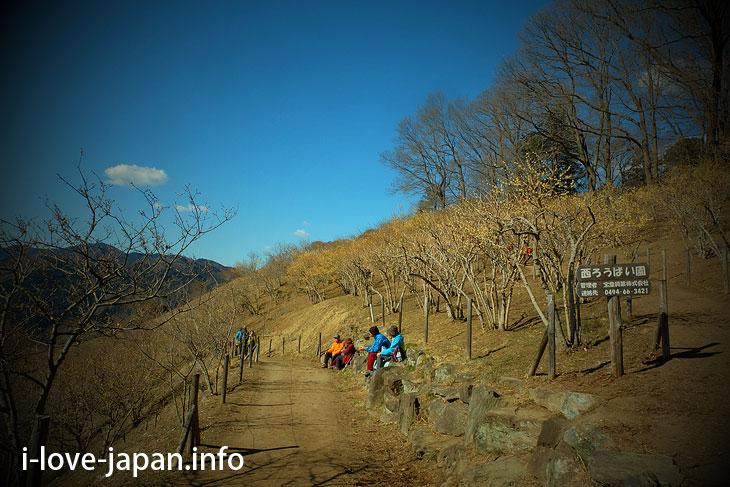 >Nagatoro Hodosan Wintersweet Garden