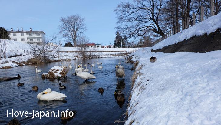 Swan in Obihiro river(near Obihiro Shrine)