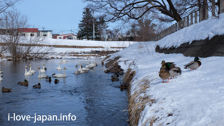 Swans in Obihiro river(near Obihiro Shrine)