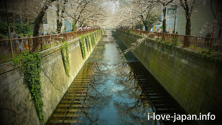 Finally cherry blossom viewing! Walk along the Meguro River