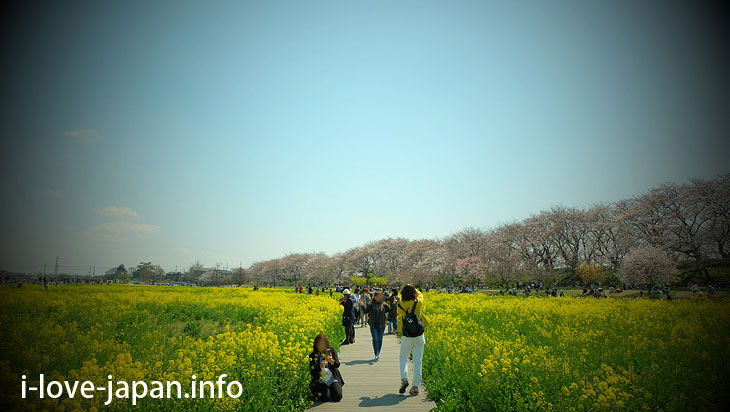 Cherry blossom and Rape flowers in Satte Gongendo Park(Saitama)