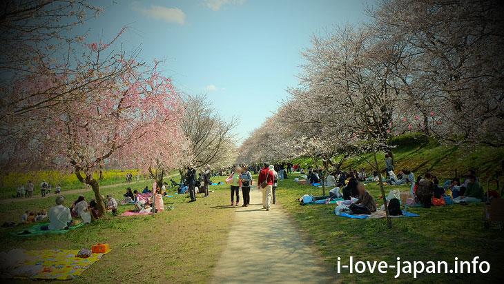 Cherry blossom and Rape flowers in Satte Gongendo Park(Saitama)