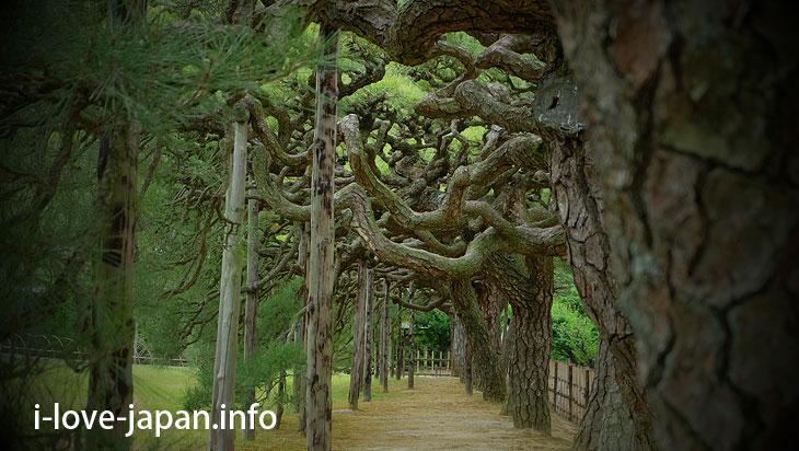Hakomatsu/Box Pine Trees@Ritsurin Garden (Takamatsu, Kagawa)