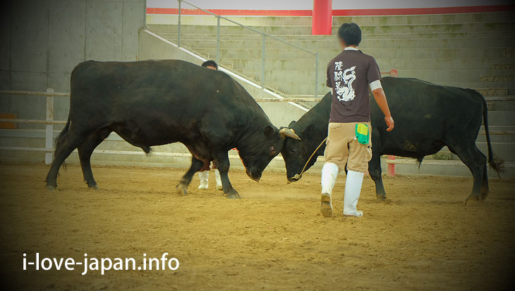 Lucky to see the bullfight practice game@Tokuno-shima Island Tourism(Amami/Kagoshima)