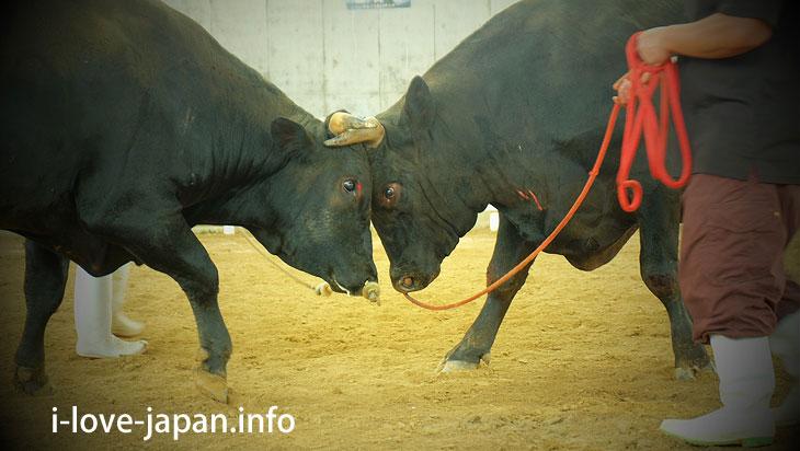 3-10. Lucky to see the bullfight practice game@Tokuno-shima Island Tourism(Amami/Kagoshima)