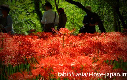 Kinchakuda Cluster Amaryllis(曼珠沙華/彼岸花) Fields+Koma Jinjya Sharine(Saitama)