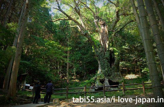 "Takeko Shinto shrine+huge camphor tree ""Ohkusu""(Takeo,Saga)"