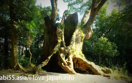 Not only Takeo but also Kawago and Tukazaki!Kawaoka too! Let's visit the huge camphor trees(Takeo, Saga)